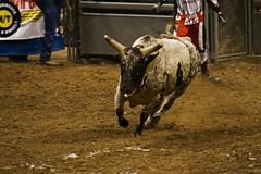 western riding(0.0), event(0.0), equestrian sport(0.0), charreada(0.0), performance(0.0), barrel racing(0.0), animal sports(1.0), rodeo(1.0), cattle-like mammal(1.0), bull(1.0), tradition(1.0), sports(1.0), bull riding(1.0),