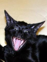 nose, animal, small to medium-sized cats, pet, mammal, head, black cat, bombay, cat, whiskers, black,