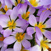 Crocus sieberi ssp. nivalis by thomas_orchids