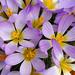 Crocus sieberi ssp. nivalis by thomas_orchids