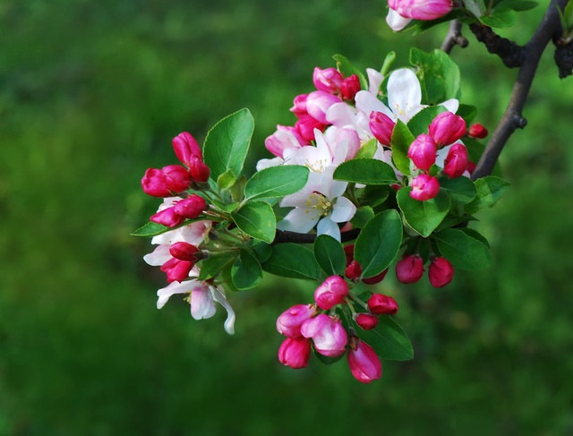 Malus floribunda, Japanese Flowering Crabapple