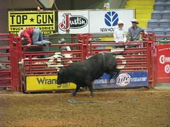 equestrian sport(0.0), fair(0.0), barrel racing(0.0), animal sports(1.0), rodeo(1.0), cattle-like mammal(1.0), bull(1.0), event(1.0), sports(1.0), bull riding(1.0),