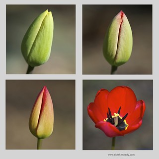 Birth of a Tulip