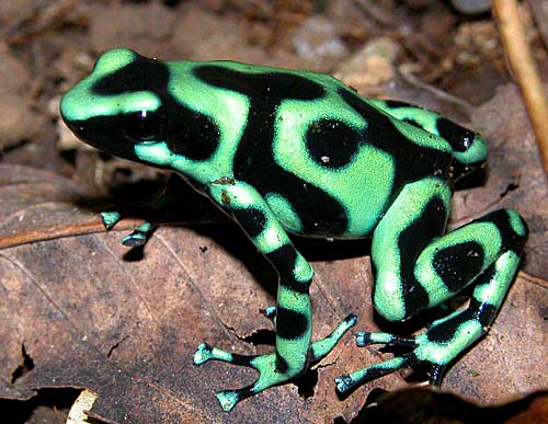Green and Black Poison Dart Frog | Flickr - Photo Sharing!