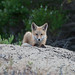 Red Fox Pup in Morro Bay, CA 28 May 2008