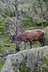 animal, deer, nature, fauna, elk, wildlife,