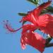 hibisco by Rodrigo M. Siqueira