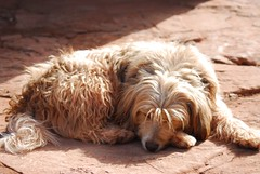 dog breed, animal, dog, pet, mammal, cockapoo, goldendoodle,