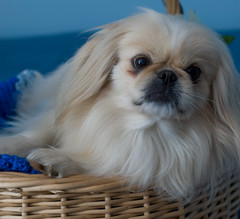 dog breed, animal, puppy, dog, pet, japanese chin, tibetan spaniel, chinese imperial dog, pekingese, carnivoran,