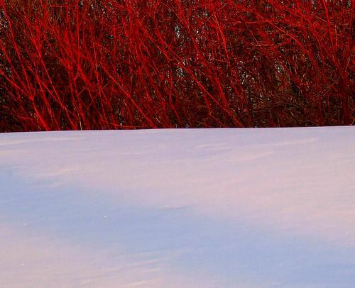 ohio snow interestingness glow cleveland explore settingsun bleah cornussericea redtwigdogwood kirtland blueribbonwinner holdenarboretum mywinners abigfave platinumphoto adoublefave colourartaward lanterncourt treehugger007 winternotspring