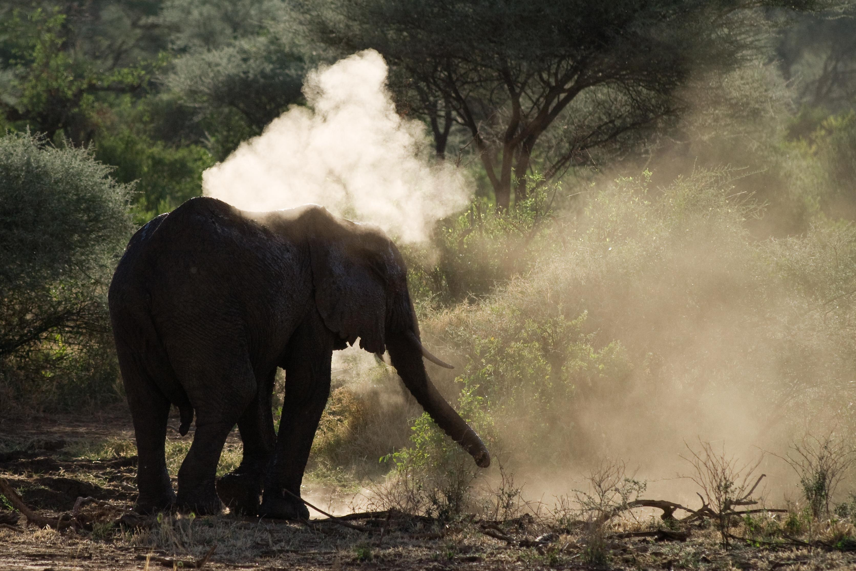 Elephant taking a dust bath