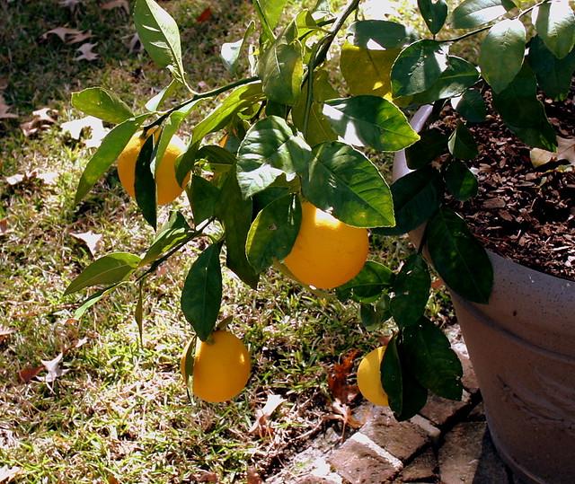 Ripe lemons