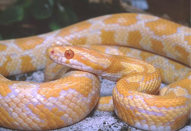"Yellow Creamsicle"" Corn Snake | Flickr - Photo Sharing!"