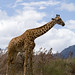 Giraffe - Photo (c) Stig Nygaard, some rights reserved (CC BY)