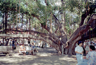 The Banyan tree in Courthouse Square - Maui