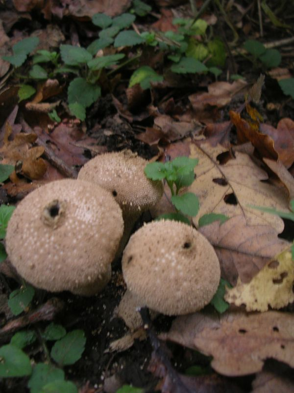 Puffballs Cuxton to Sole Street