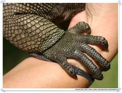 20041016_Guana@BVI_Iguana_007_A