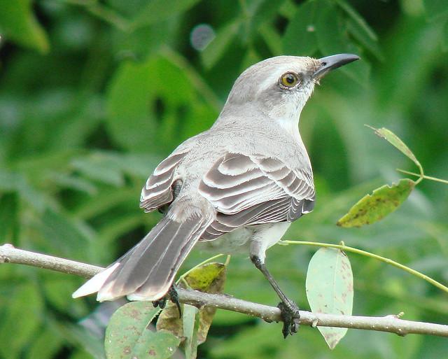 Paraulata Llanera [Tropical Mockingbird] (Mimus gilvus)