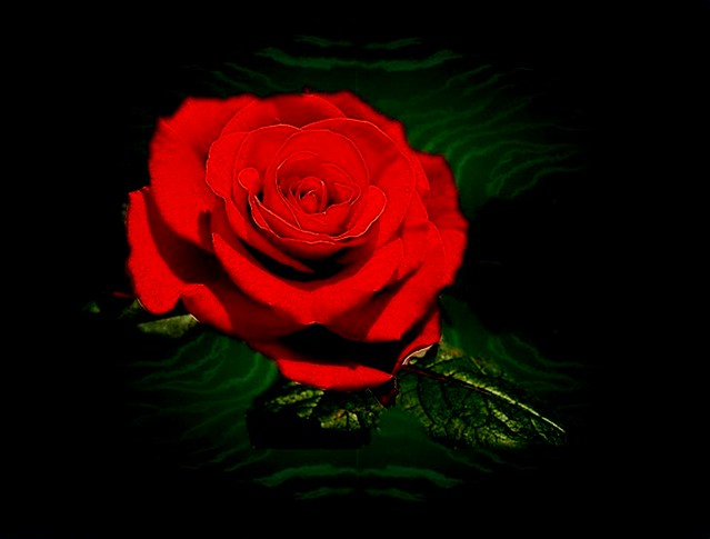 A ROSE TO WARM