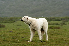 great pyrenees(0.0), dog breed(1.0), animal(1.0), polish tatra sheepdog(1.0), dog(1.0), pet(1.0), maremma sheepdog(1.0), mammal(1.0), slovak cuvac(1.0), livestock guardian dog(1.0),