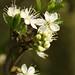 Small photo of Cherry Plum blossom