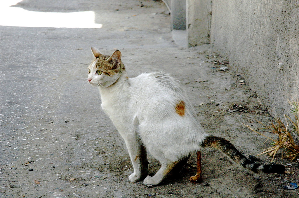 Shitting Cat