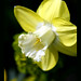 I love this soft yellow daffodil..in my garden this year by electra-cute