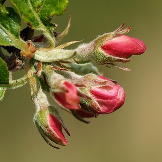 Apple flower buds waiting for sunshine.