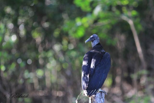 urubu noir / black vulture