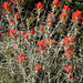 Woolly Indian Paintbrush - Photo (c) randomtruth, some rights reserved (CC BY-NC-SA)