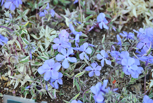 "Phlox Divaricata ""Montrose Tricolor"" Flowers at Rooftop Garden of Higashi-shinagawa Pump Facility"
