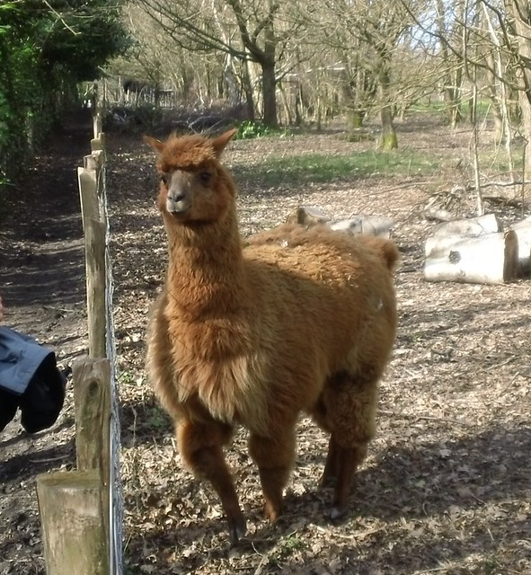 Cuddly llama wants to join walkers on Eden Valley walk