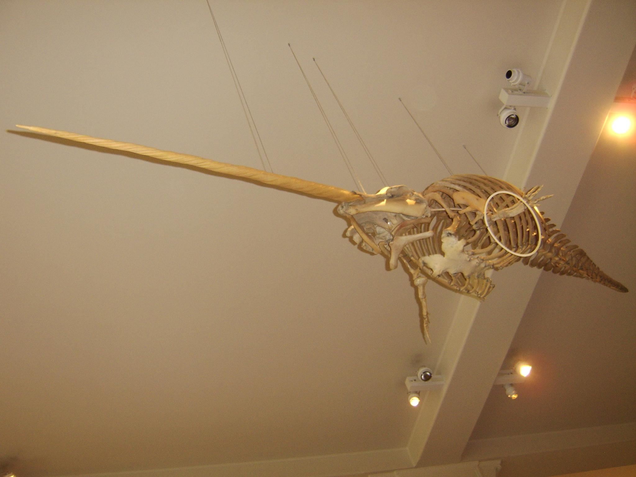 narwhal skeleton diagram