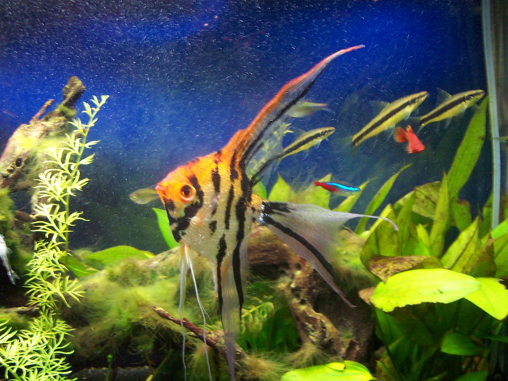 My angel fish in my 55 gallon freshwater aquarium a for Big freshwater aquarium fish