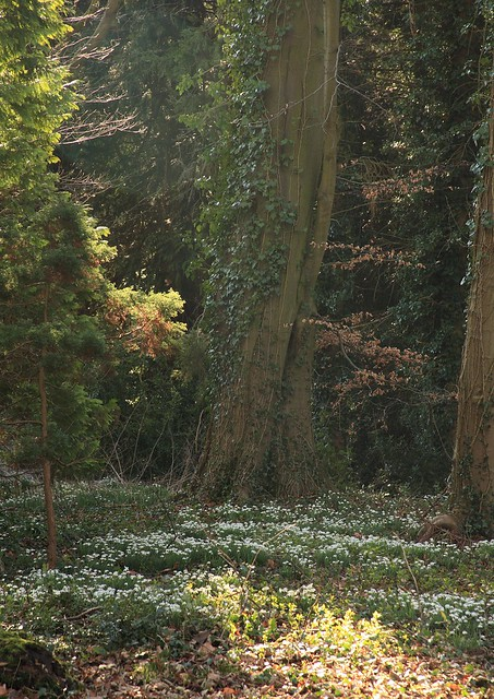 Snowdrops at Lexham Hall