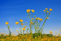 Flores amarillas silvestres en el campo