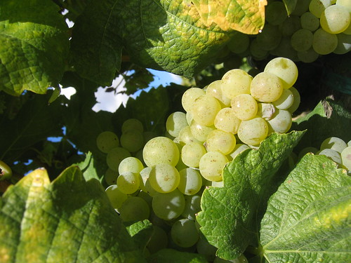 Semillon Grapes from Upland / Yakima Valley