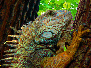the colors of the iguana
