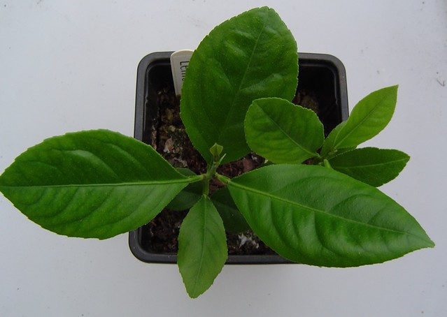 Lemon seedlings