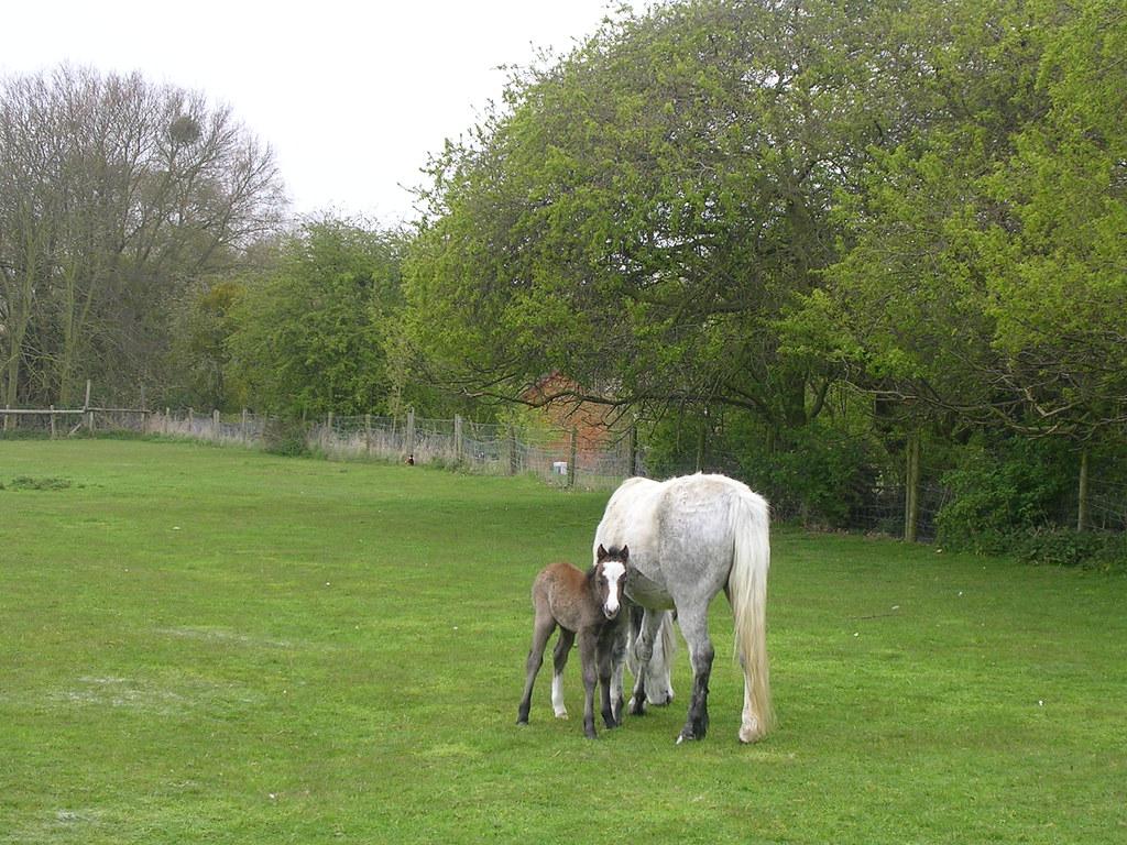 Foal Manningtree circular. Still shaky on its legs.