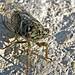 cicada by al-ien