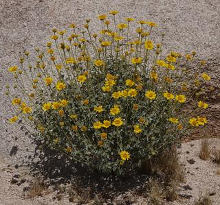 brittlebush
