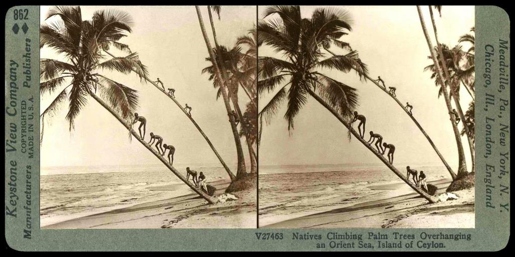 LIKE LITTLE ANTS -- The Coconut Climbing Kids of Old Ceylon