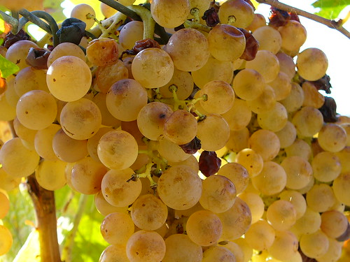 Uva matura, reife Trauben, ripe grapes