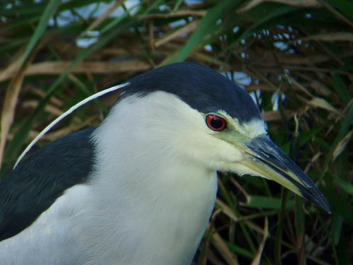 Bihoreau à couronne noire adulte - Black crowned night Heron adult.  Lasalle  03-10-2005   PA030108 by Diane G...