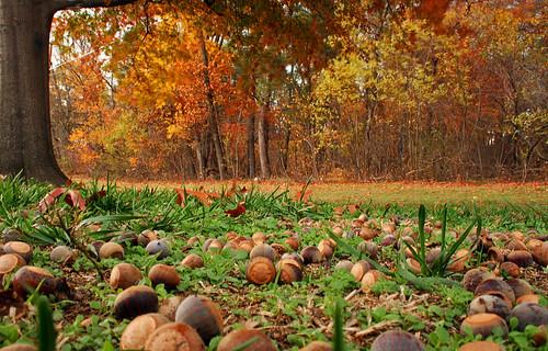 autumn nature groundlevel oaktree acorns squirrelfeast