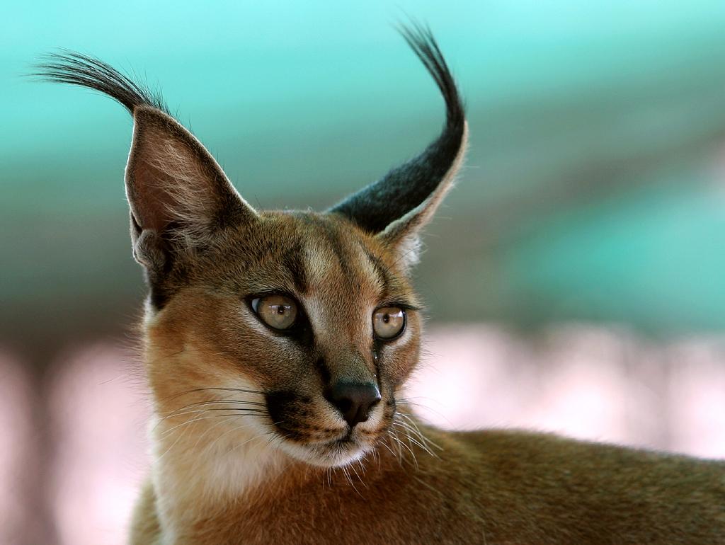 caracal eyes