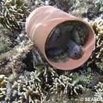 Abalone in PVC pipe