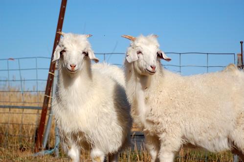Couple More Australian Cashmere Goats
