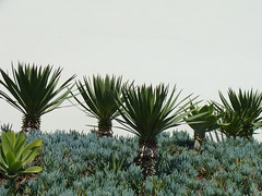 date palm(0.0), borassus flabellifer(0.0), flower(0.0), grass(0.0), produce(0.0), saw palmetto(0.0), arecales(1.0), garden(1.0), leaf(1.0), tree(1.0), plant(1.0), flora(1.0), agave azul(1.0),